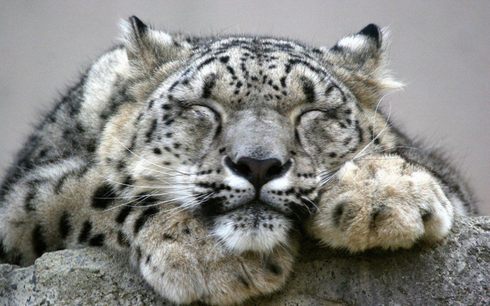 Snow Leopard Hd Desktop Wallpapers 1600x1000