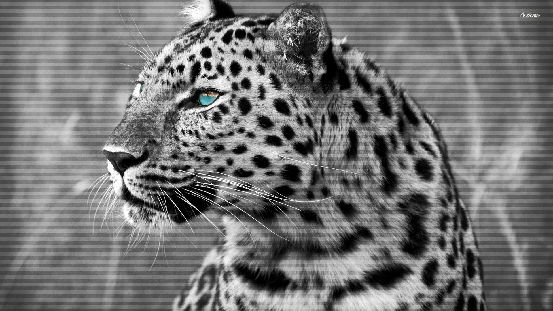 Snow Leopard Wallpaper Picture Leopard Snow Leopard Face Baby 1920x1080