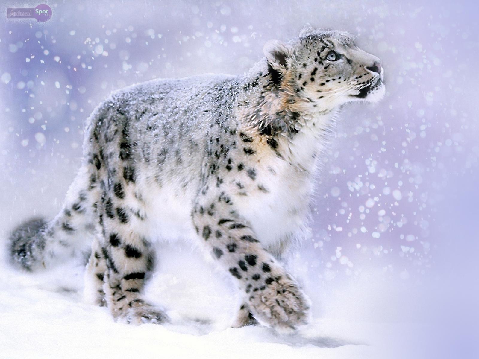 Simple Wallpaper Mac Snow Leopard - Snow-Leopard-Wallpaper-037  2018_475474.jpg