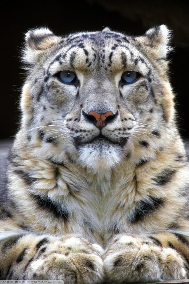 Snow Leopard Wallpaper Downloads Amazing Wallpaperz 640x960