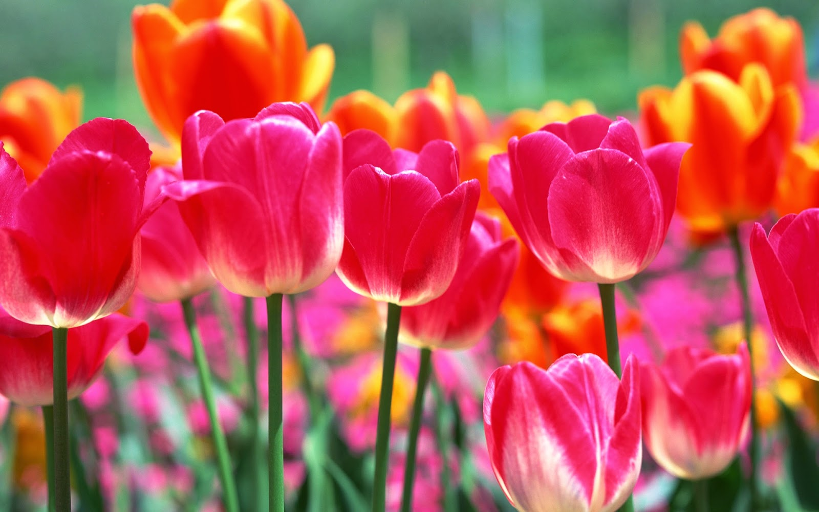 Spring flowers wallpaper 1600x1000 mightylinksfo