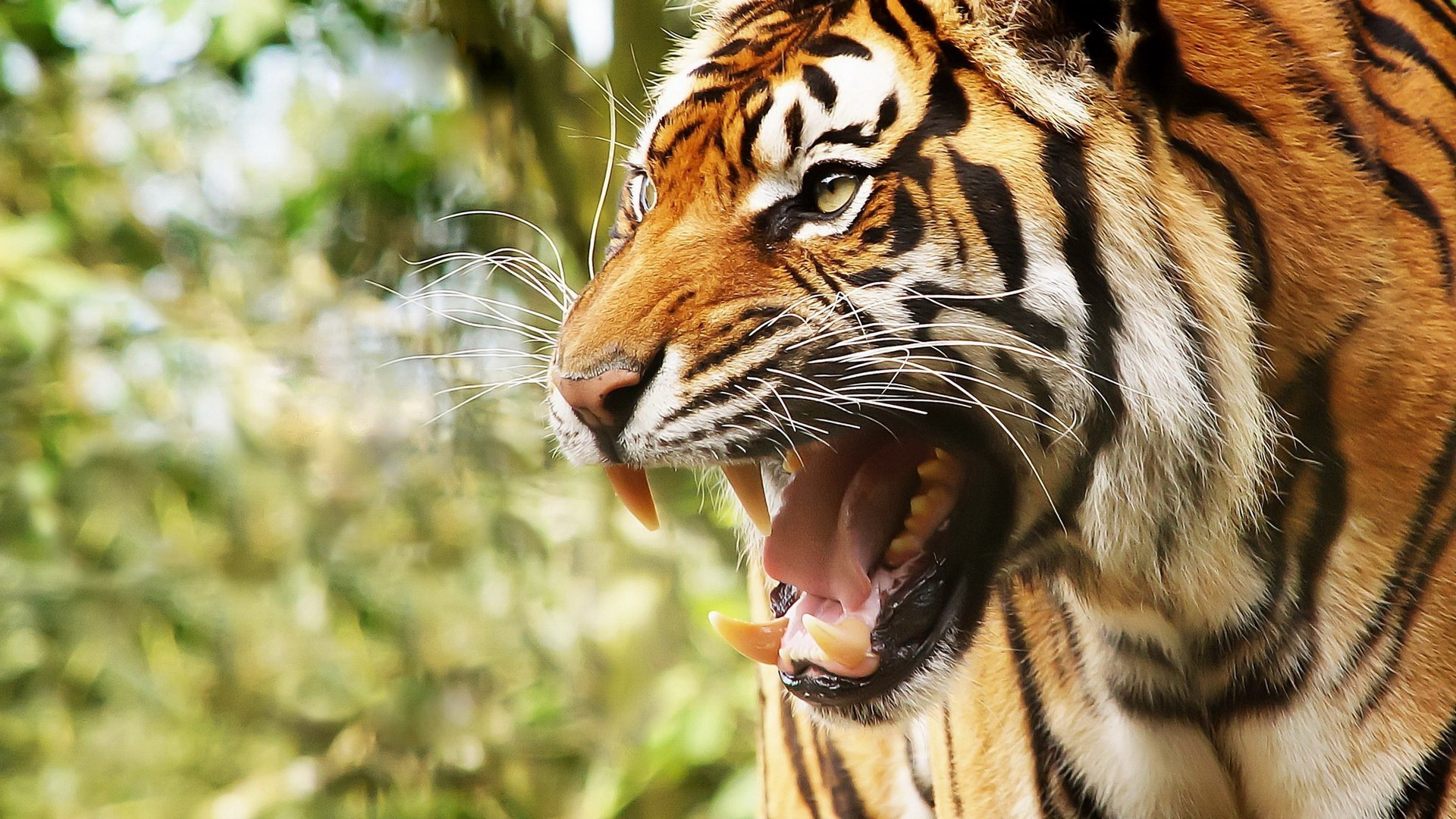 butterfly plain tiger hd wallpapers for desktop : wallpapers tiger