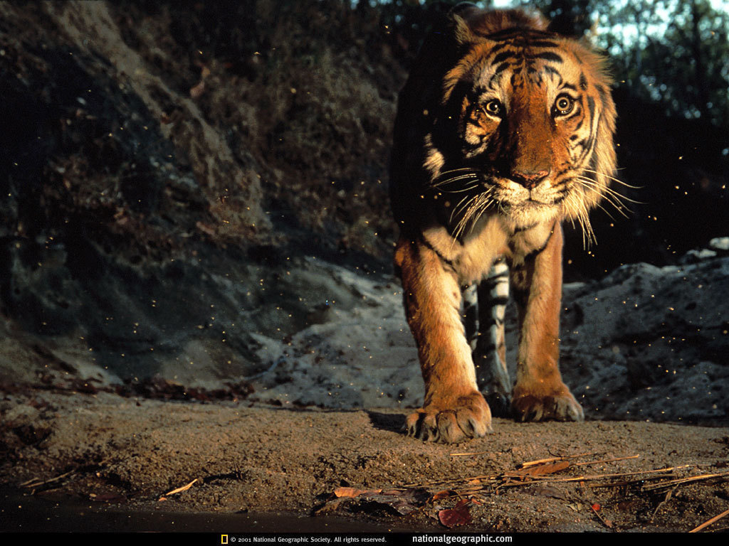 Tiger Wallpaper Wallpapers For Free Download About Wallpapers Tiger
