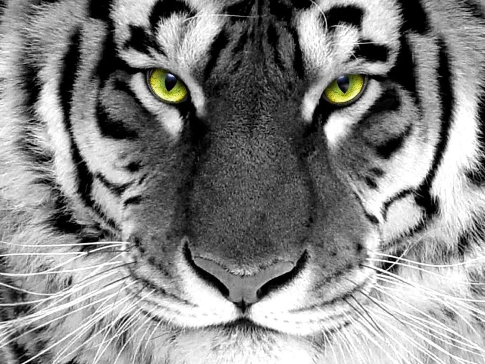 pc tiger wallpapers in cool collection 1600x1200