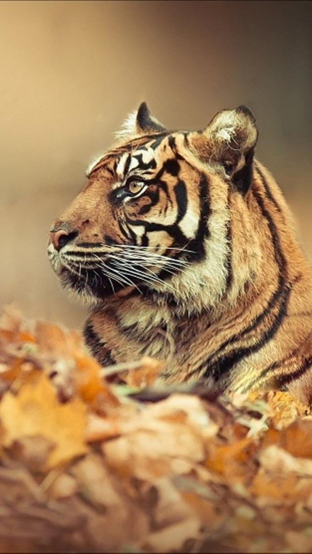 Download Fire Tiger Mobile Wallpaper Mobile Toones 640x1136