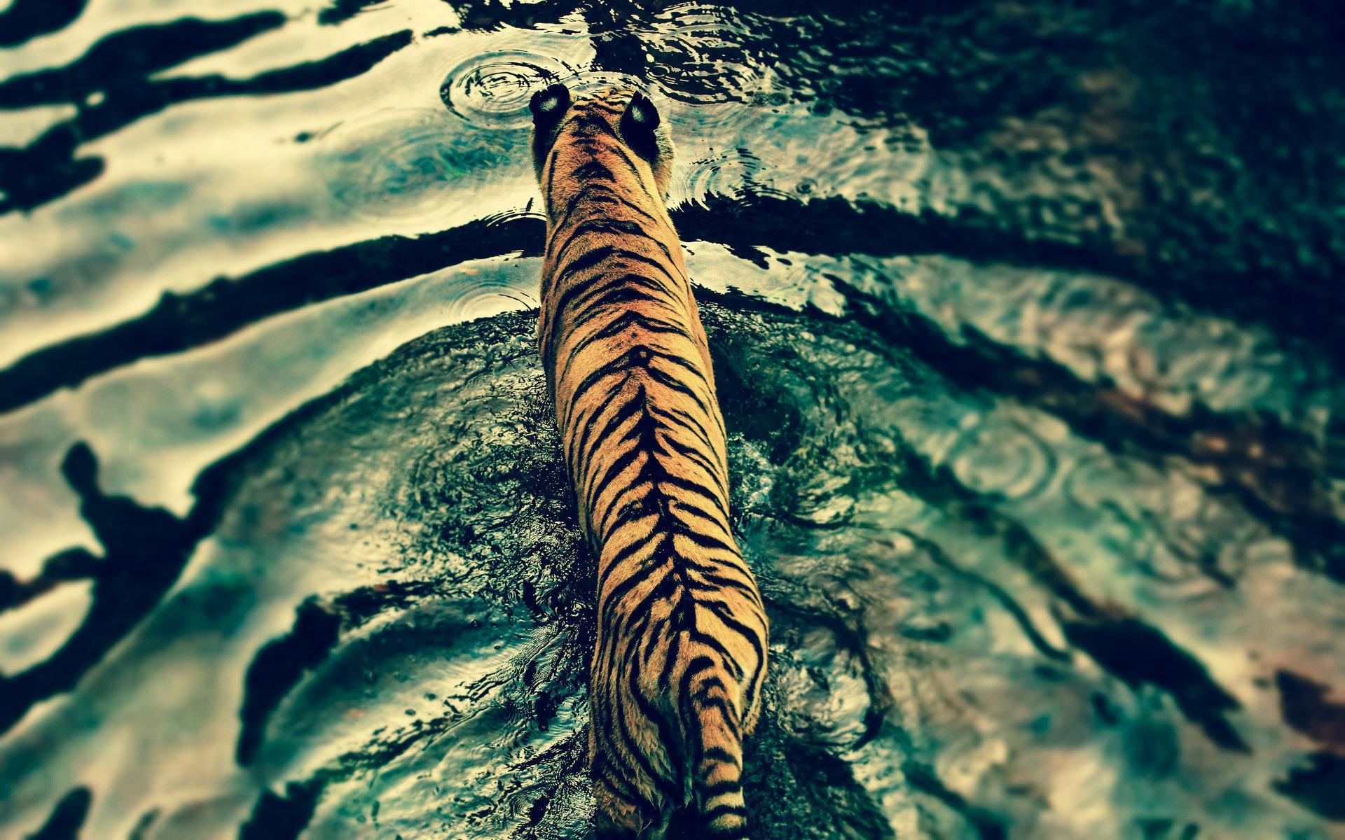 Black Tiger Wallpapers Hd Download Black Tiger Wallpapers Hd Tiger