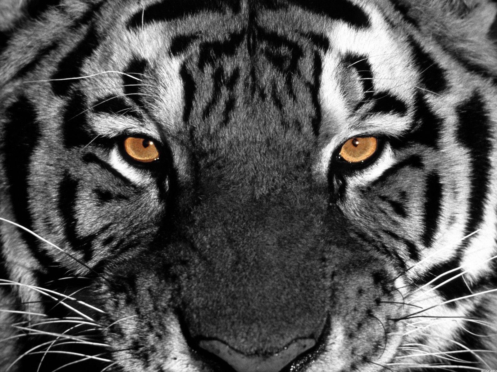 tiger hd wallpapers wallpaper 1600x1200