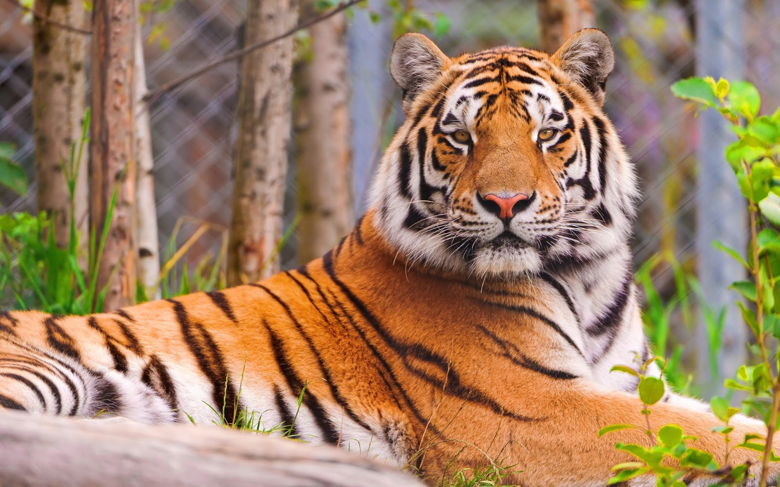 Tiger Pics Wallpapers on