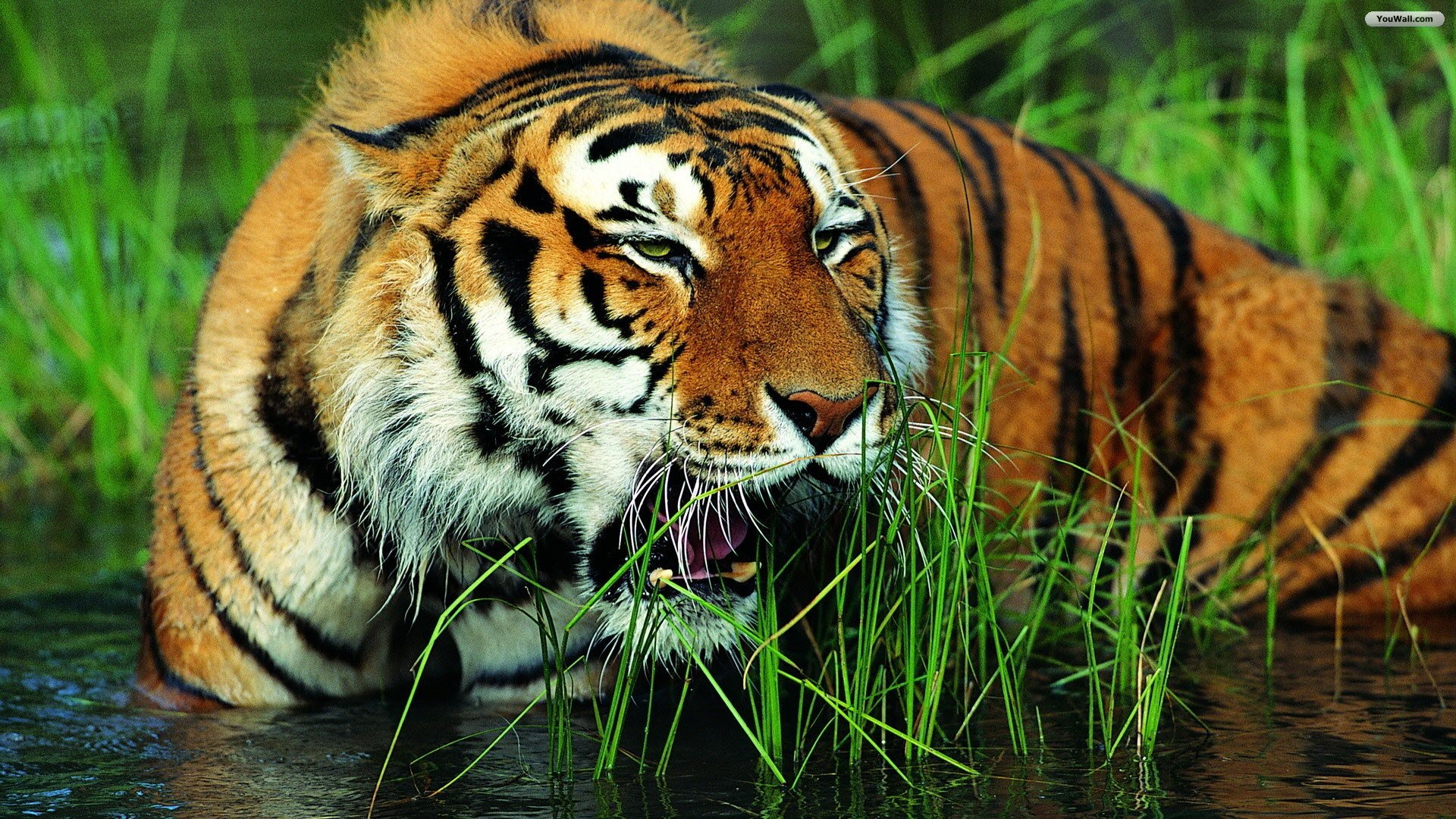 Tiger Live Wallpaper Android Apps On Google Play 1920x1080