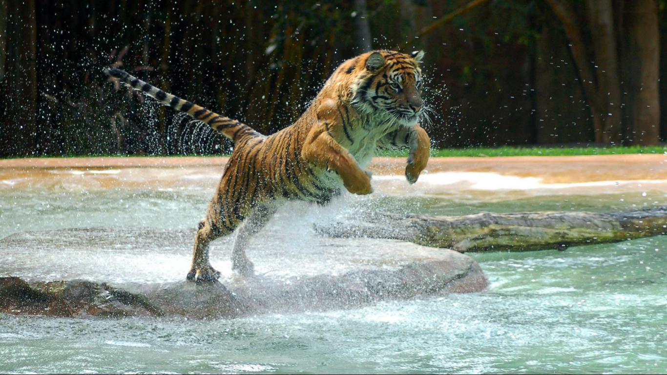 Top Full Hd Tiger Wallpapers Desktop Backgrounds Whatsapp 1366x768