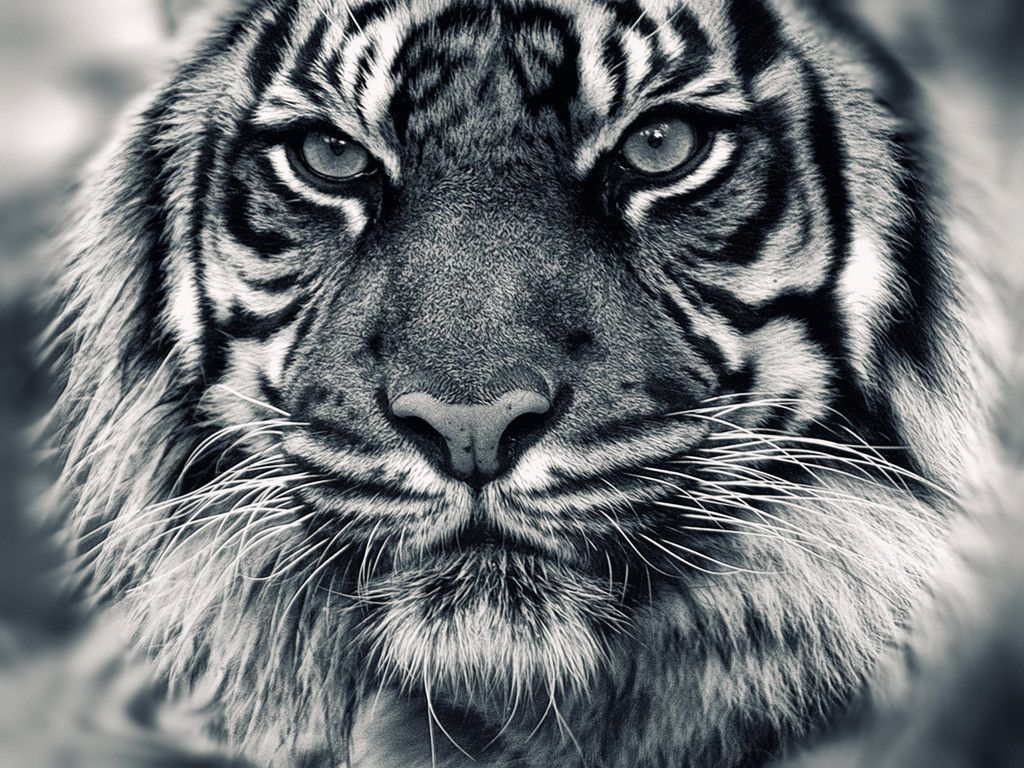 Black Tiger Wallpapers Hd Download Black Tiger Wallpapers Hd Best Desktop Hd Wallpaper Tiger Hd Wallpapers 1024x768