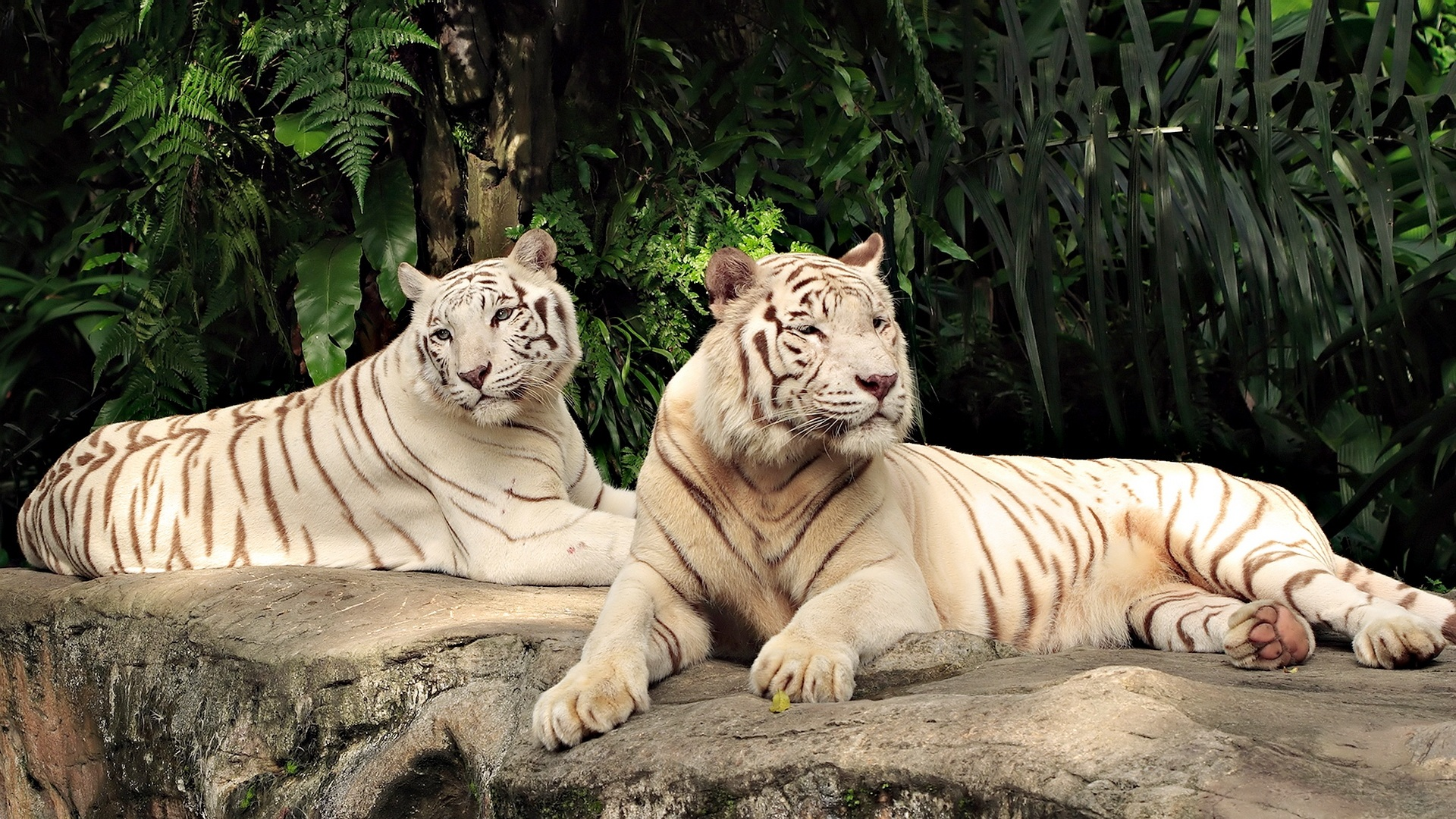 amazing white tiger wallpapers collection sh white tiger desktop