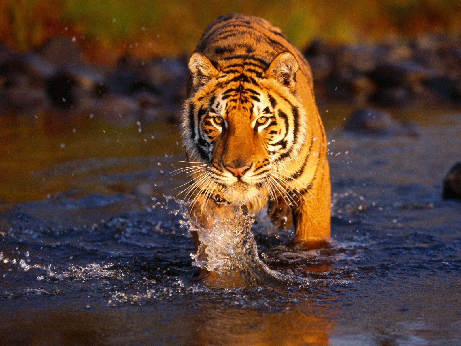 Beautiful Tiger Wallpapers  HD Wallpapers 1600x1200