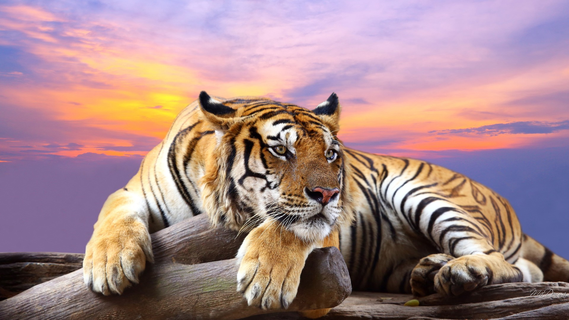 Bengal Tiger Wallpaper Wallpaper Free Download 1920x1080
