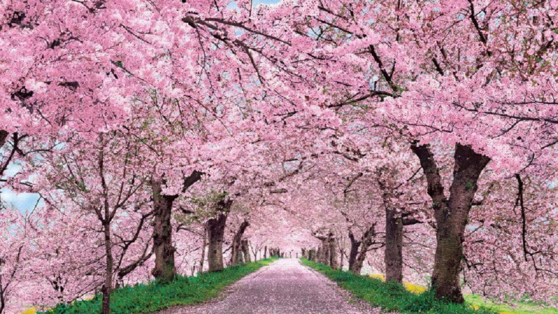 Cherry Blossom HD Wallpapers Background Images