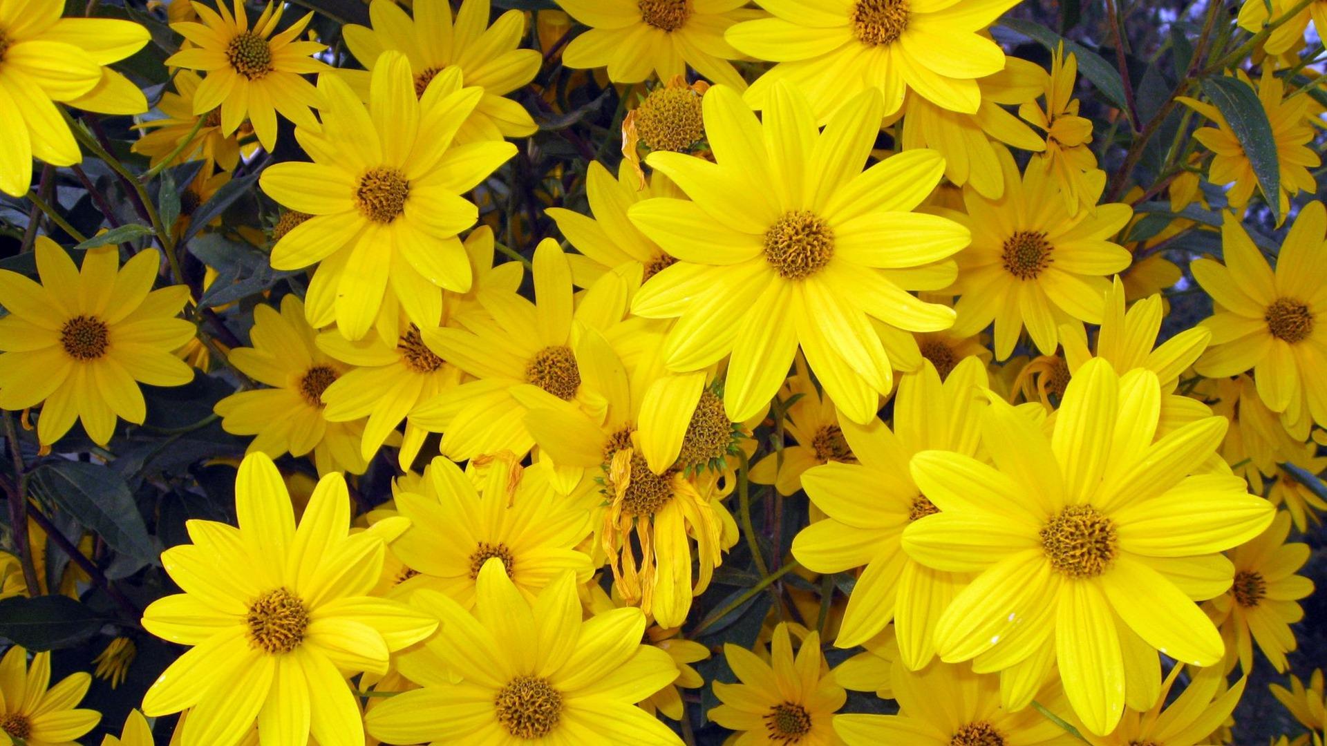 Beautiful Yellow Flower Hd Desktop Wallpaper High Definition 1920x1080