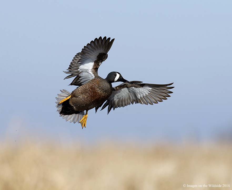 Waterfowl Wallpapers For Your Desktop Suggestions Online Images Of Duck Hunting Wallpaper Dogs 882x720