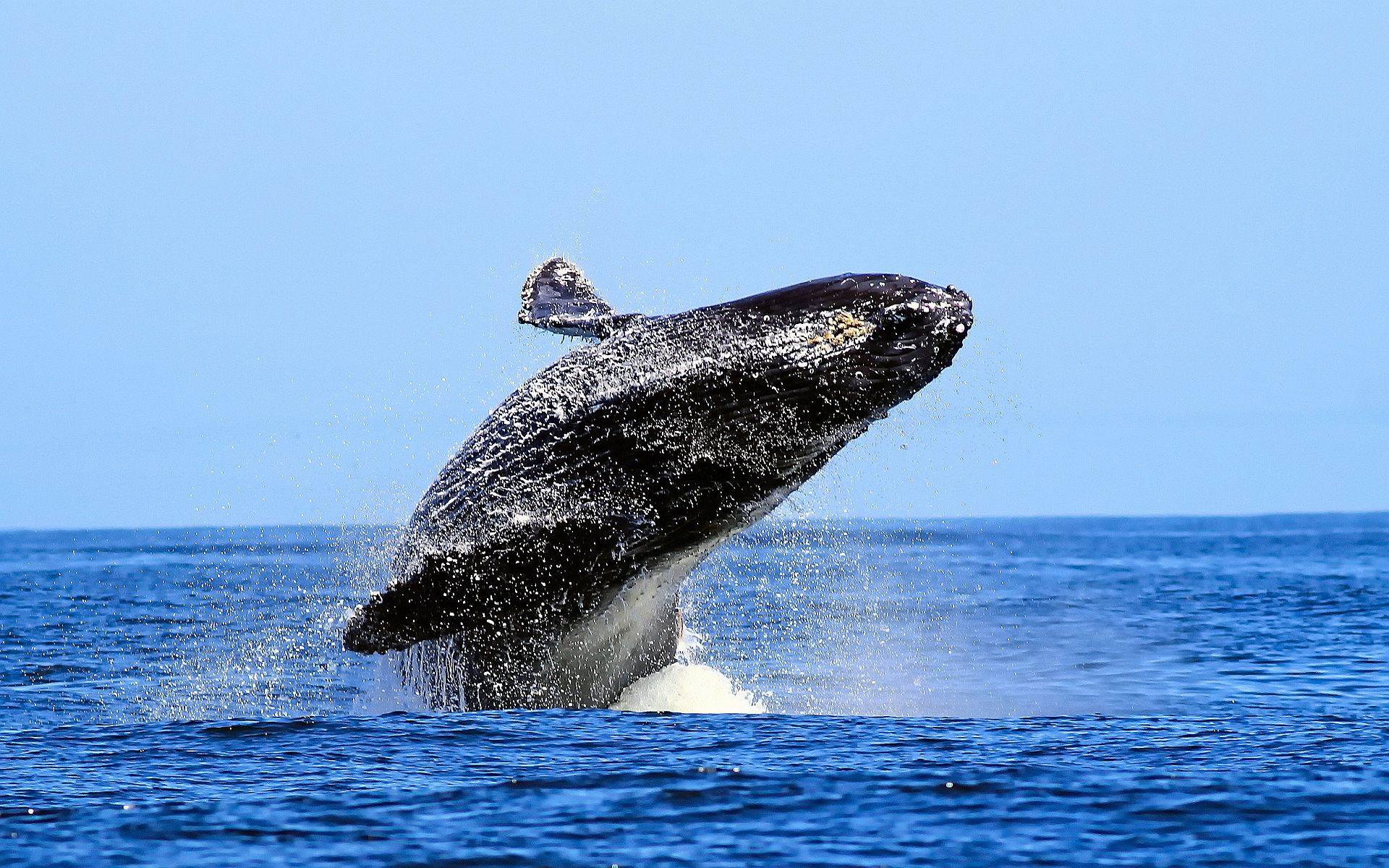 Blue Whale Desktop Pics Wallpapers 11932 - Amazing Wallpaperz
