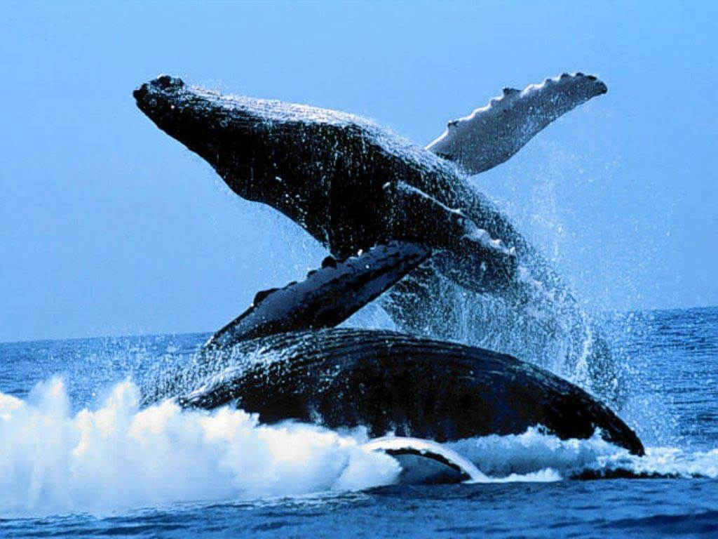 Blue Whale Desktop and Mobile Wallpaper - Animals Town