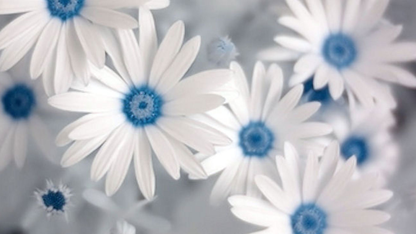 White Rose Flowers Wallpapers Hd Wallpapers 1366x768