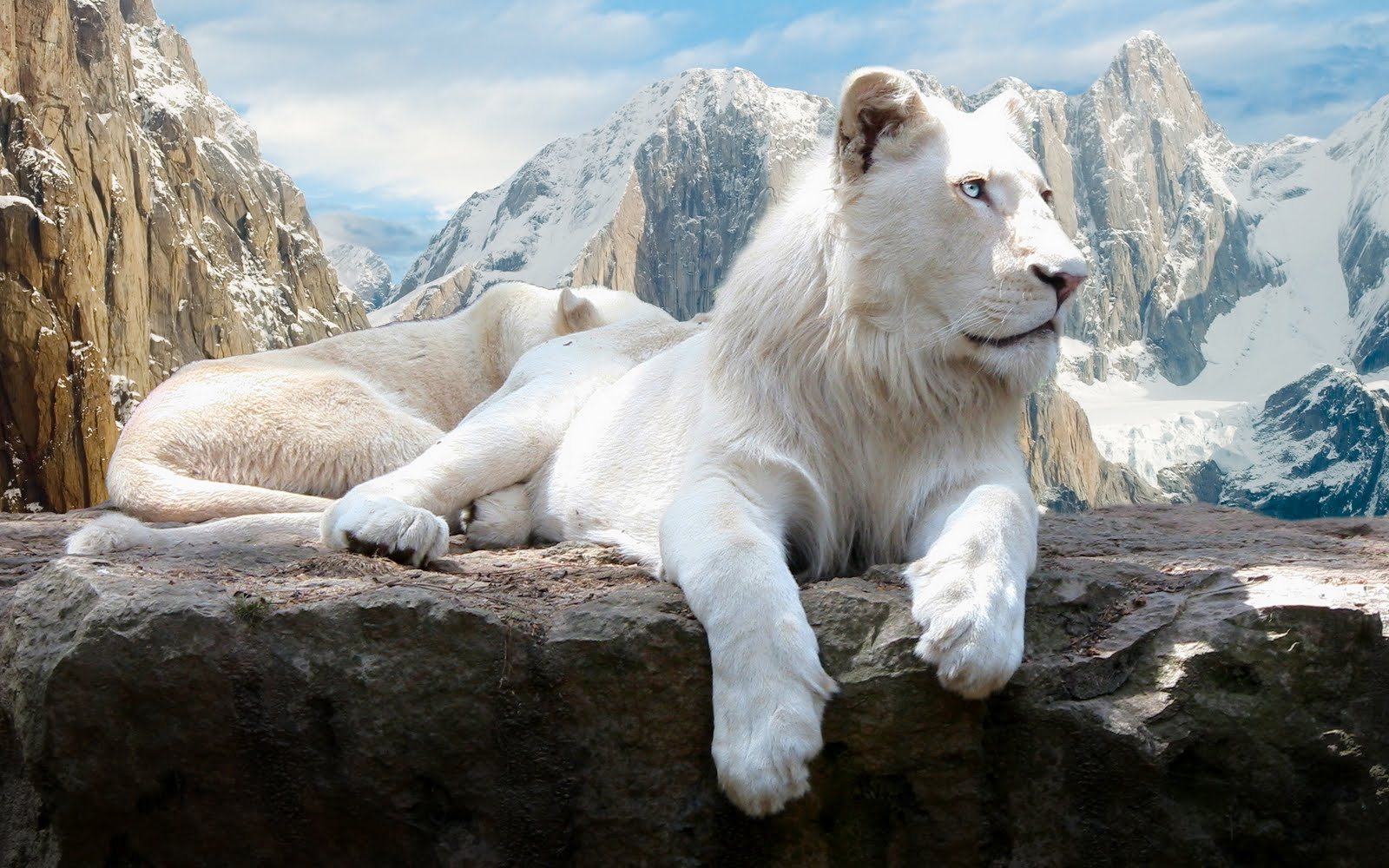 White Lion Hd Wallpapers Backgrounds Wallpaper 1600x1000