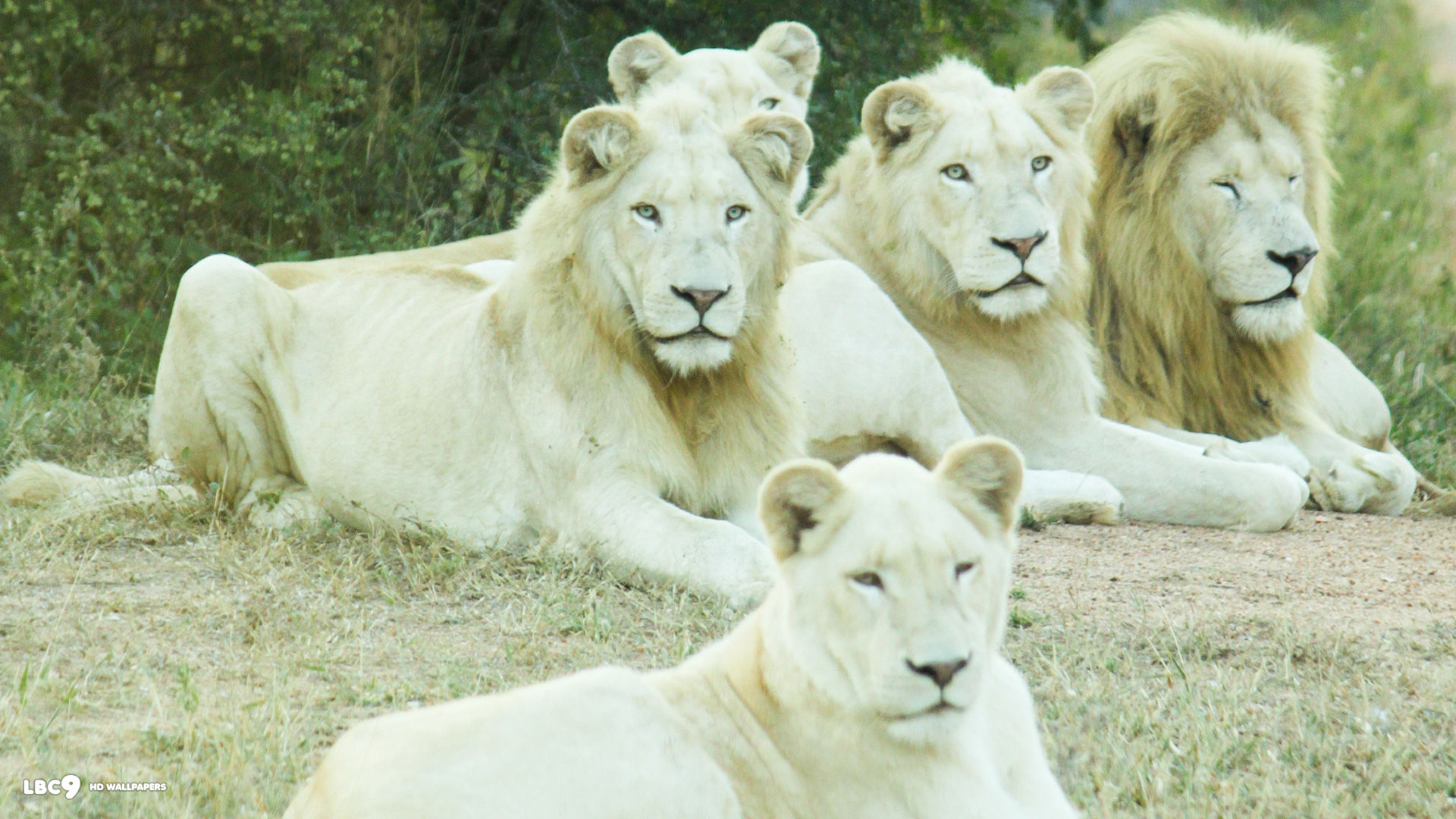 White Lion Hd Wallpapers Amazing Wallpaperz 1920x1080