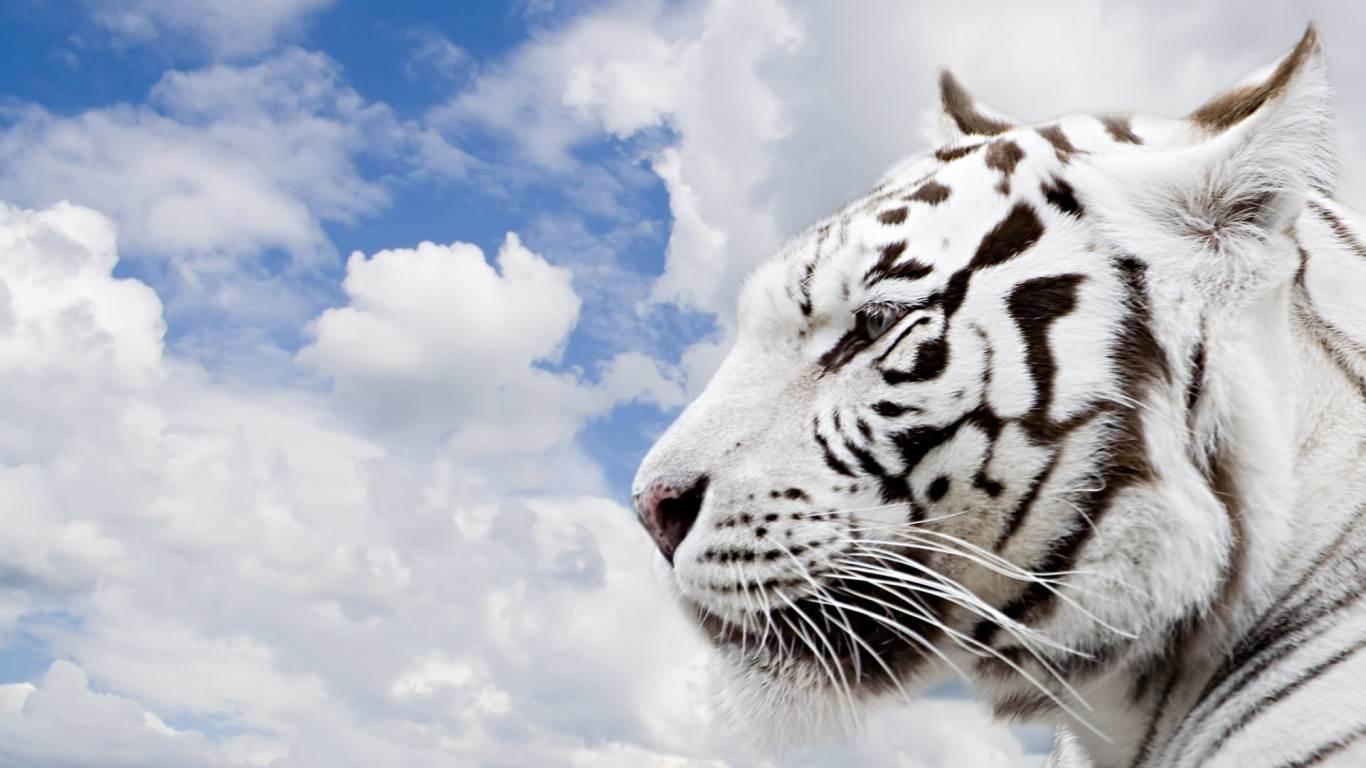White Lion Wallpapers Sky Hd Wallpaper 1366x768