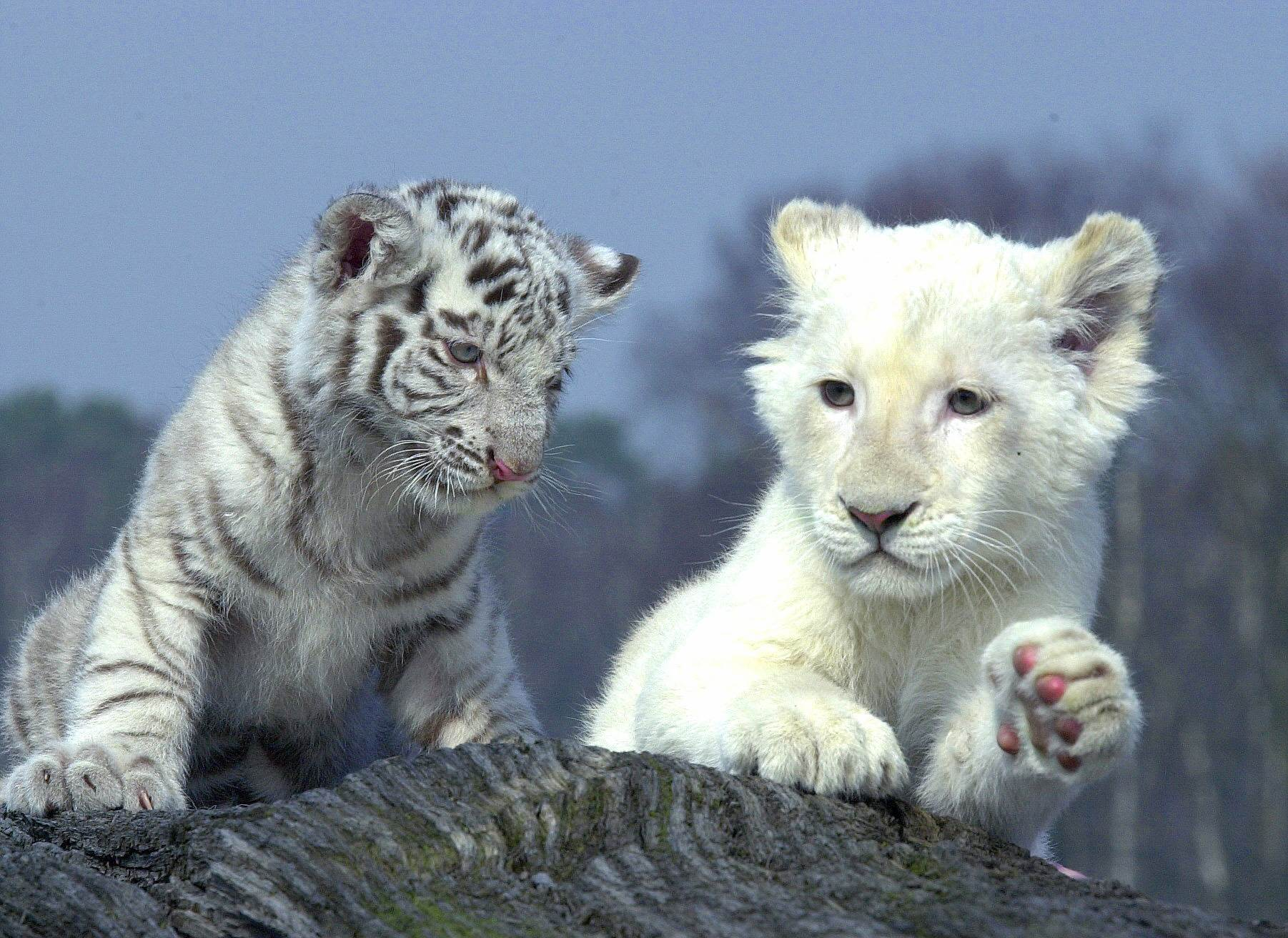 Cute baby white lion