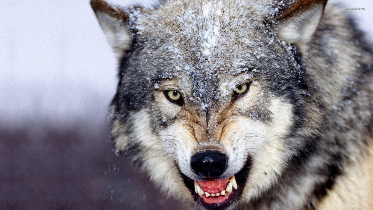 Wolf Pack Fantasy Abstract Background Wallpapers On Desktop 1200x675