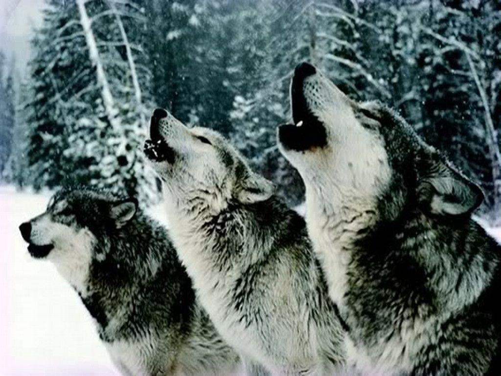 White Wolves Pack HD Desktop Wallpaper Widescreen High 1024x768
