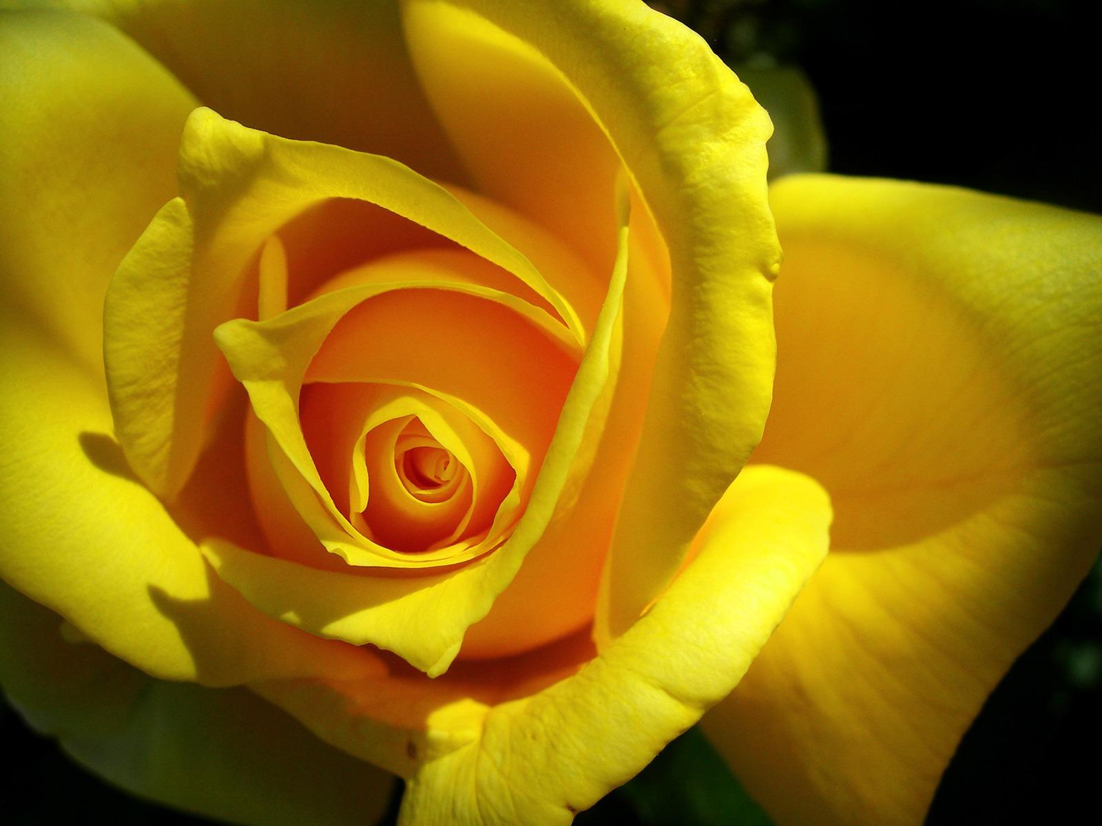 Single yellow flower wallpaper hd of beautiful flower 1600x1200 izmirmasajfo