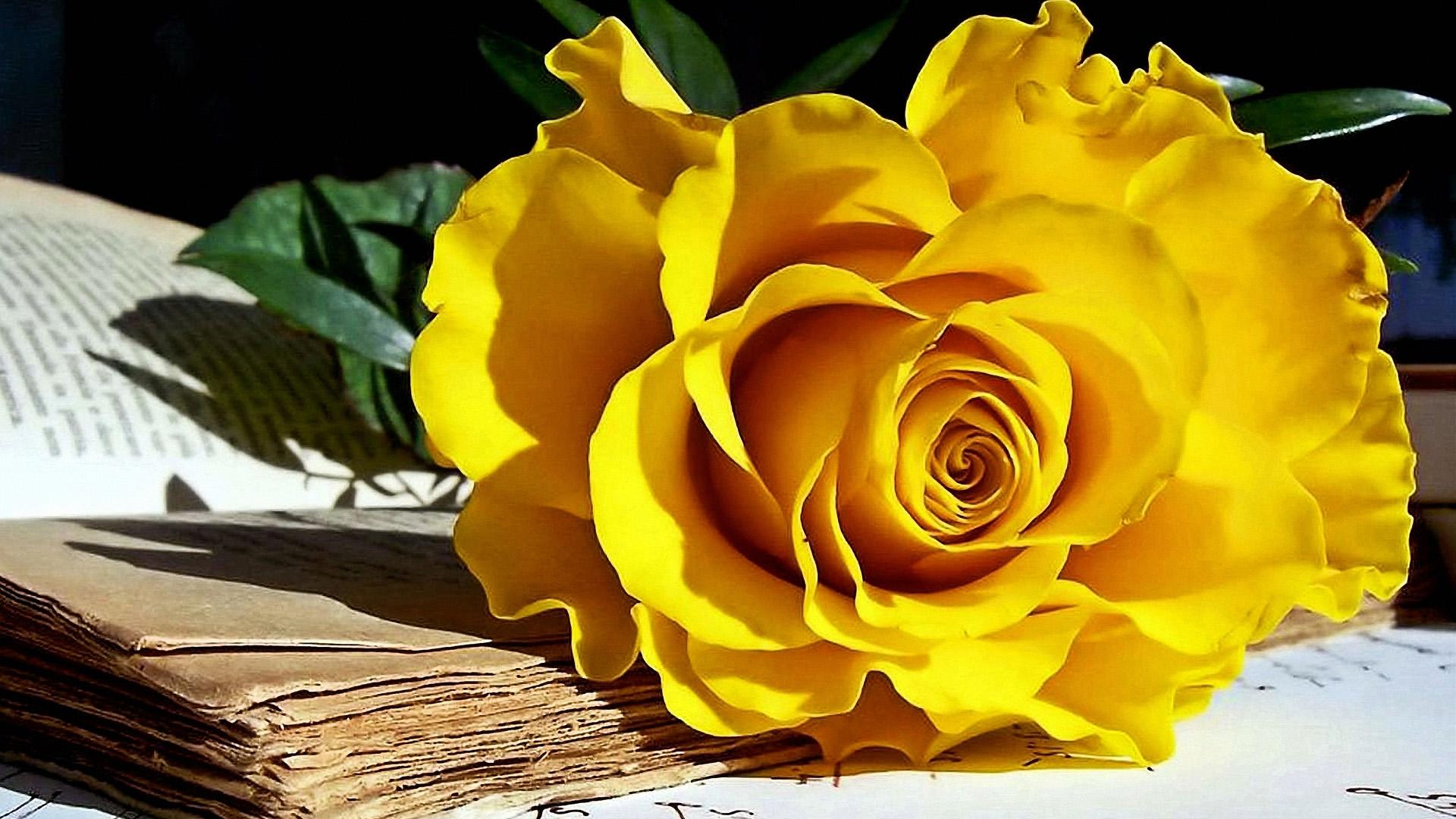 Yellow Rose Wallpaper 1920x1080