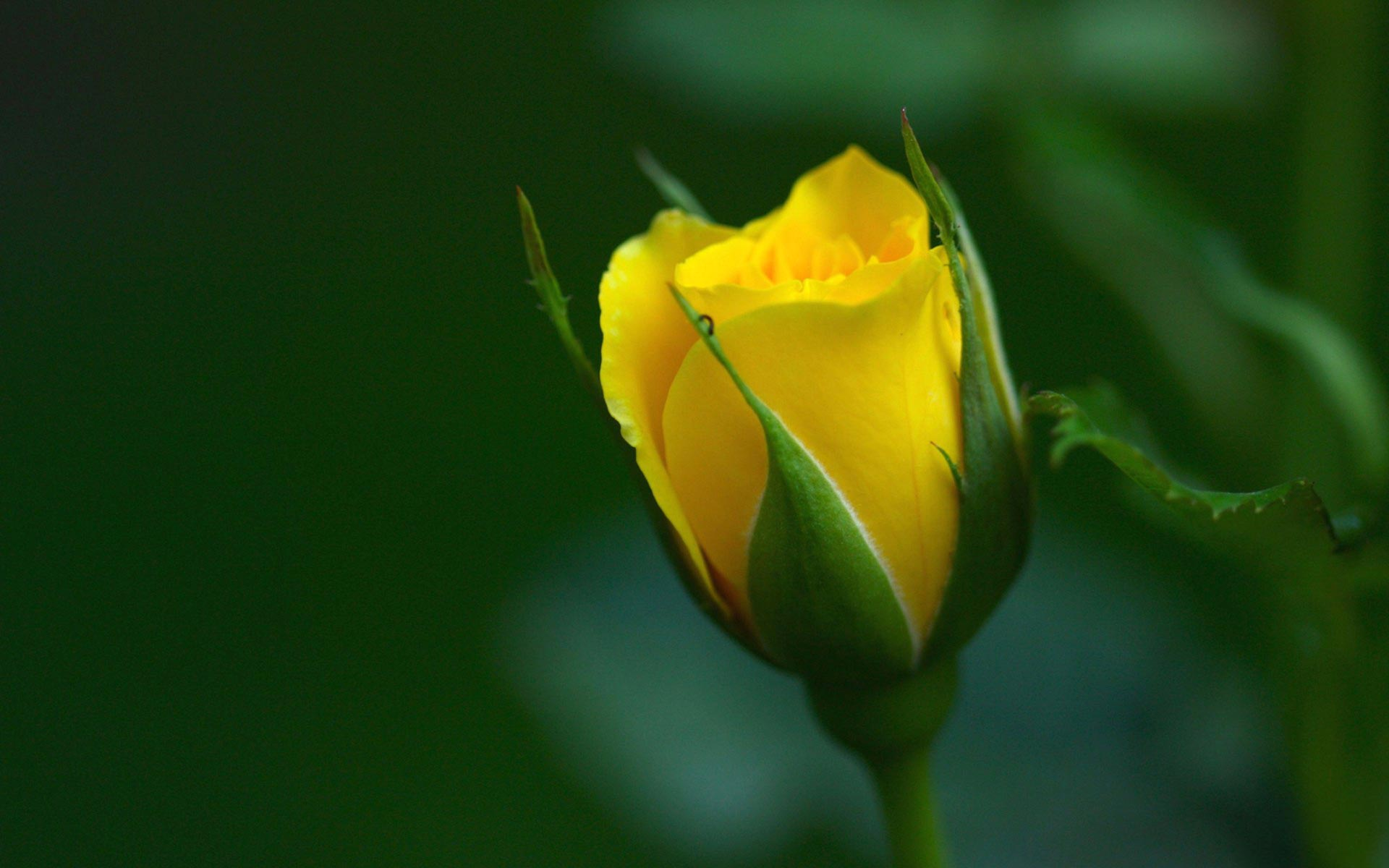Yellow Rose Flowers Wallpapers The Best Flowers Ideas 1920x1200