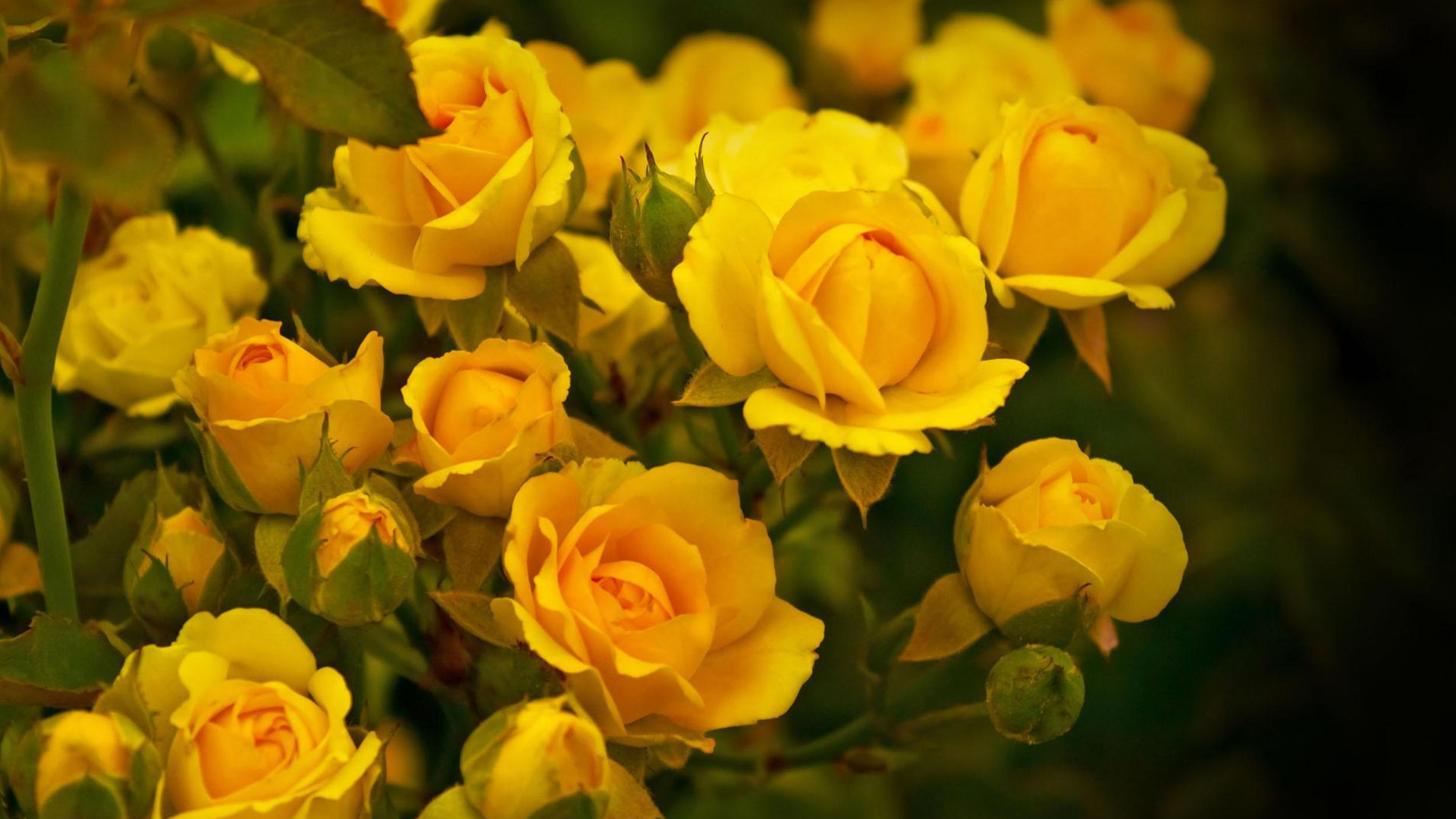 Beautiful Yellow Rose Flowers Wallpapers Images Free Download 1920x1080