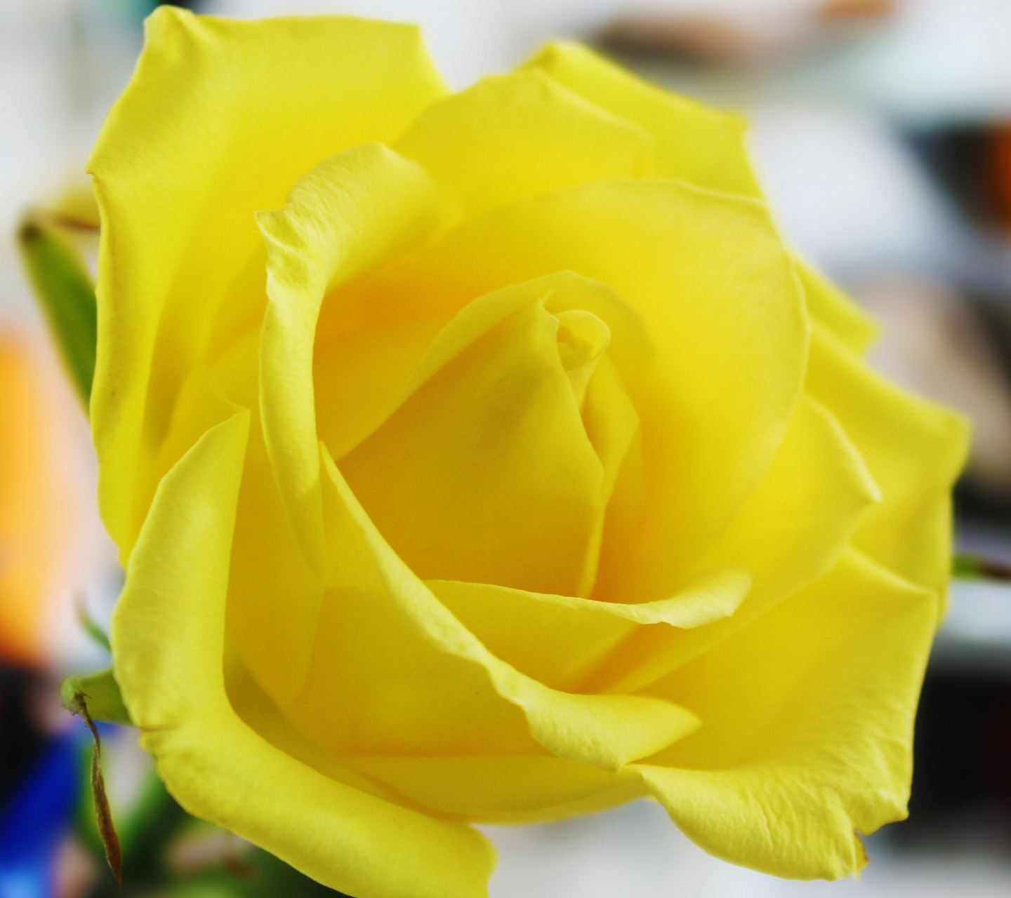 Beautiful Yellow Rose Flowers Wallpapers  images free download 1440x1280