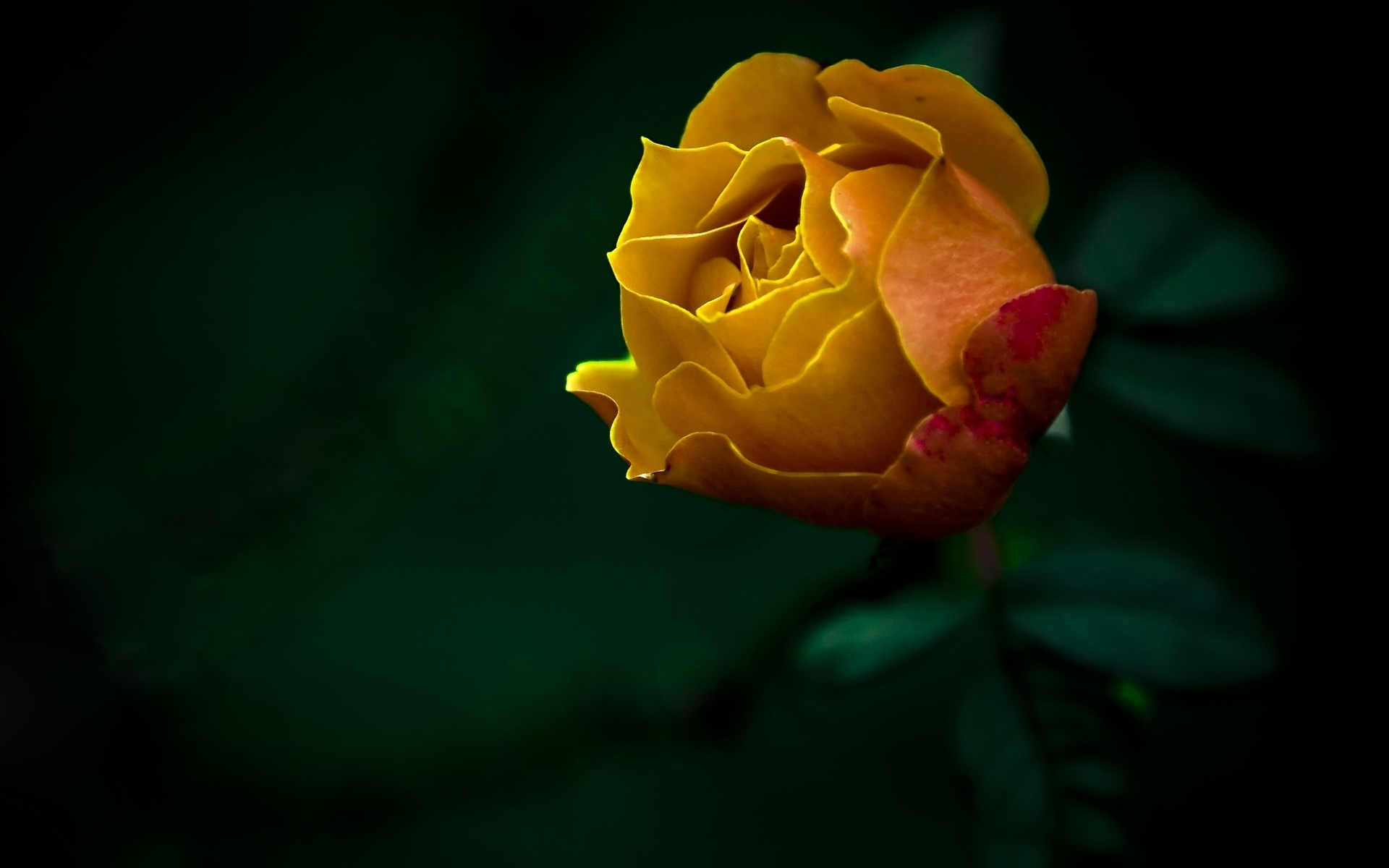 Yellow Rose Wallpapers High Quality Download Free 1920x1200