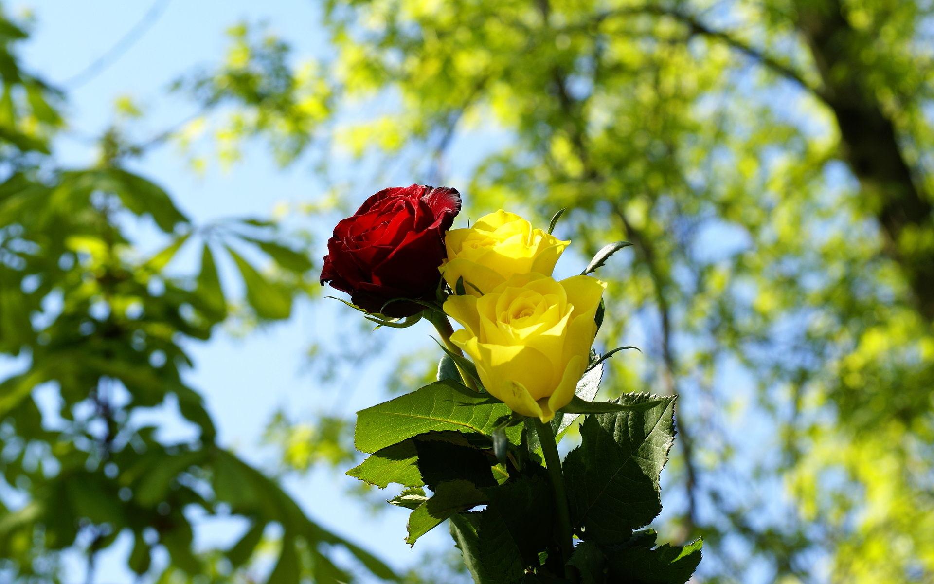 Yellow Roses Images Rose Wallpaper Free Photos Yellow Rose 1920x1200