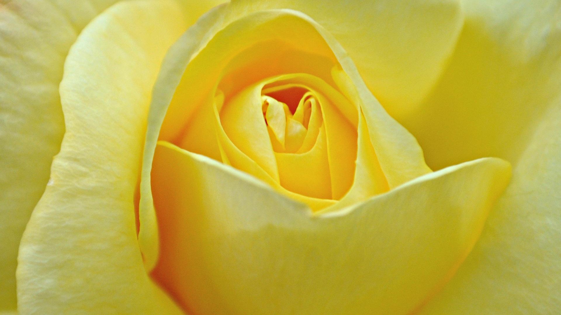 Beautiful Yellow Roses HD Wallpapers Free Downloads 1920x1080