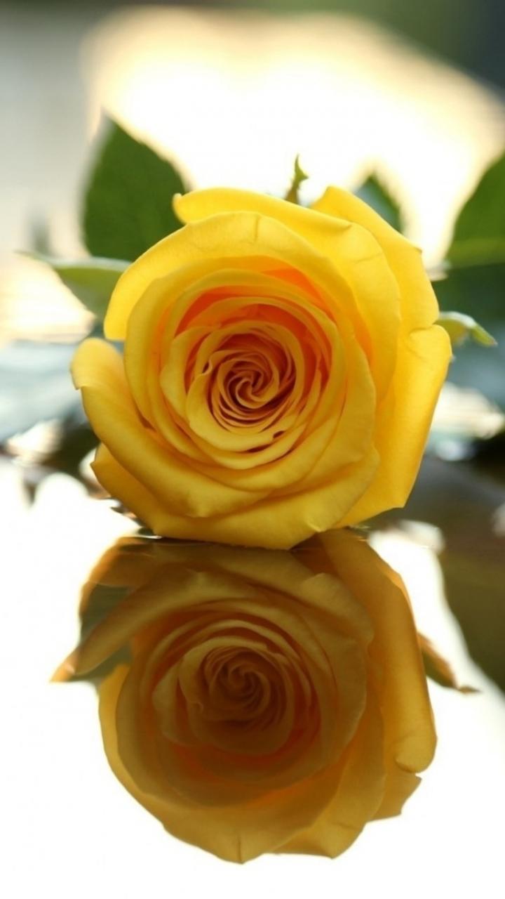 Yellow rose flower wallpapers wallpaper 720x1280 mightylinksfo