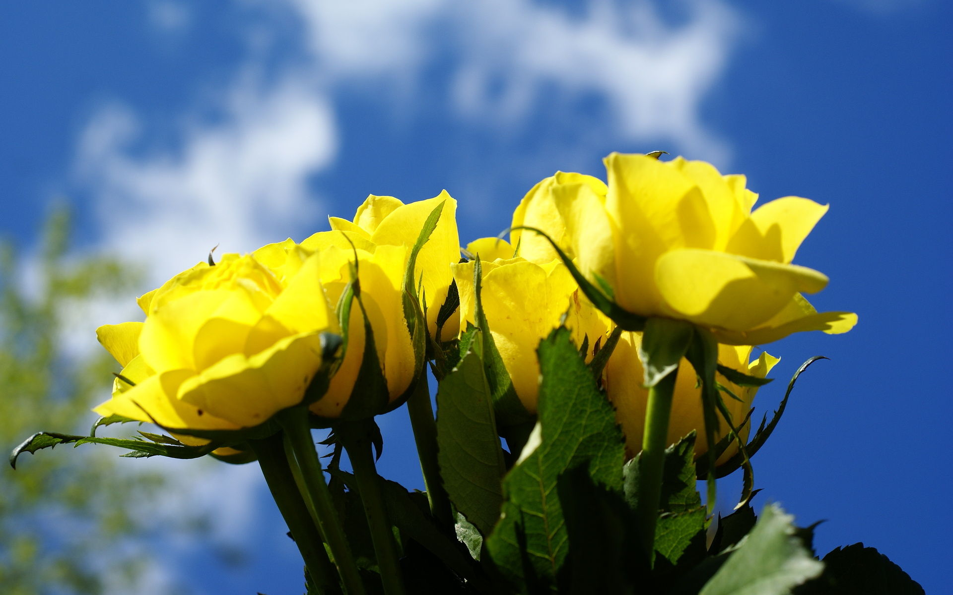 Beautiful Yellow Rose Flowers Wallpapers The Best Flowers Ideas