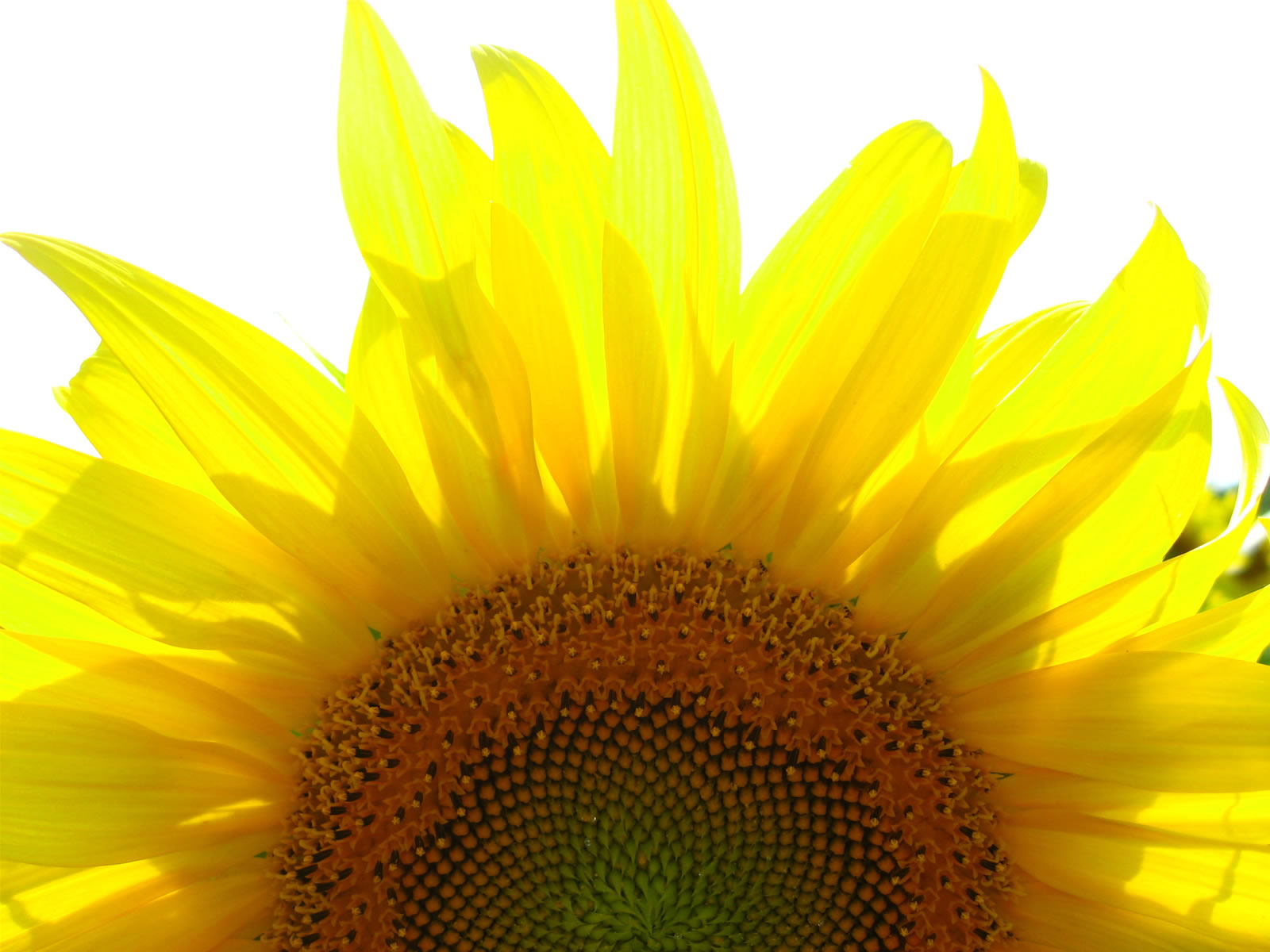 Sunflower Wallpaper  Android Apps on Google Play 1600x1200