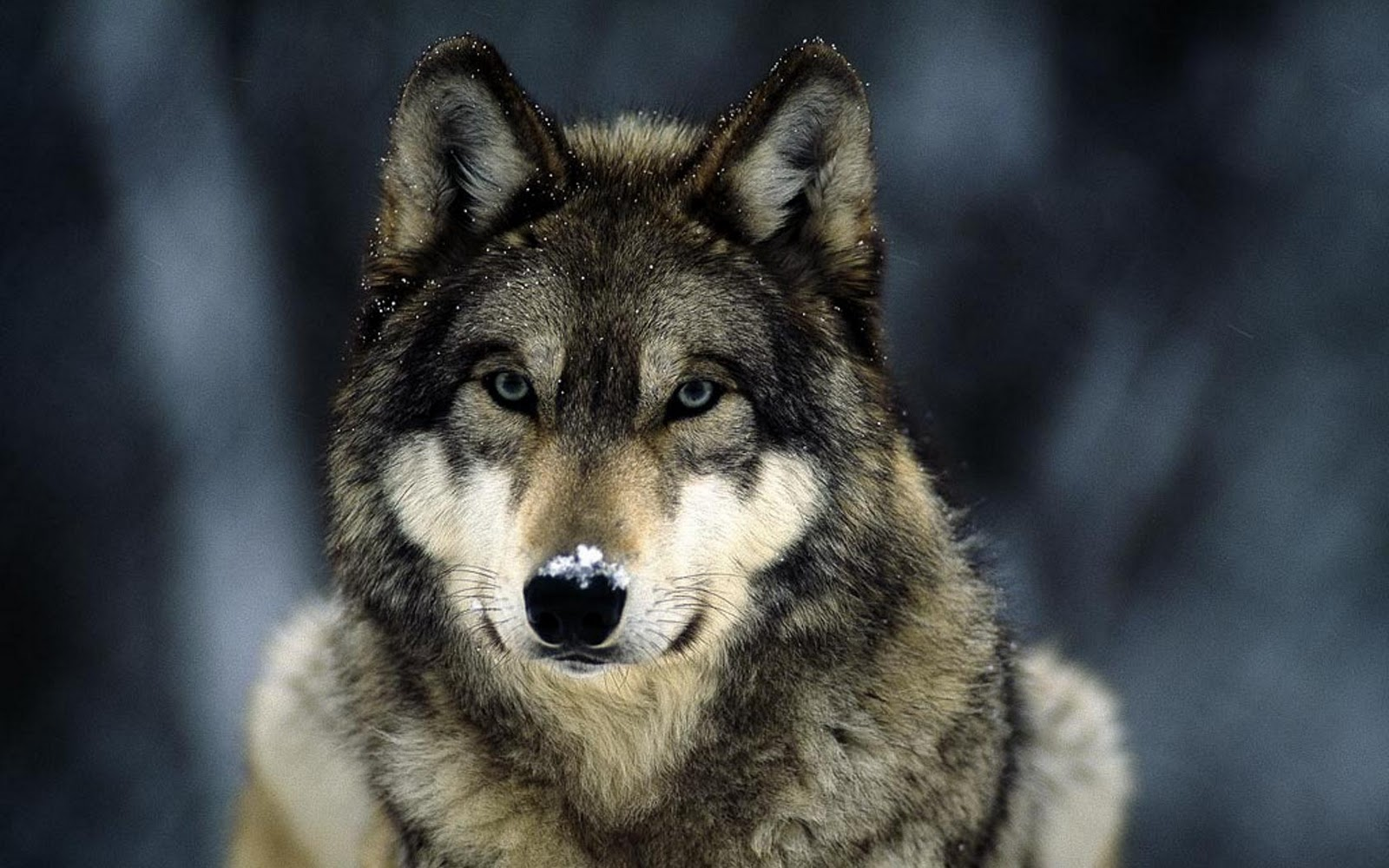 Adorable Wolf Hd Wallpaper Safari Wallpapers