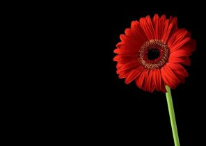 Black Wallpaper Red Flowers 50 Wallpapers