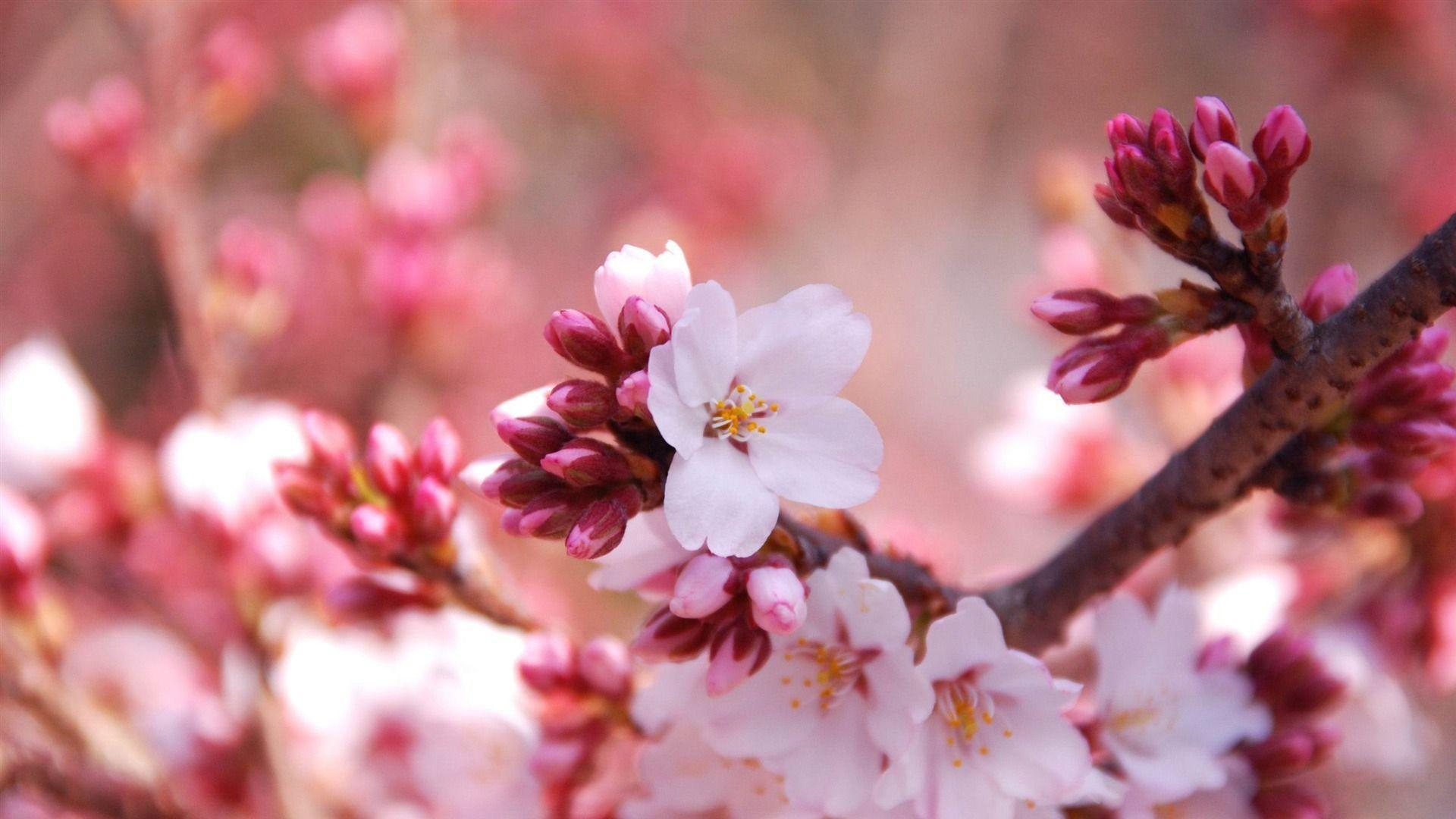 Download Free Anime Cherry Blossom Background Page Of I