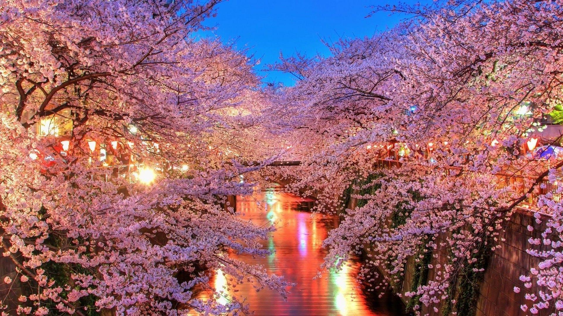 Download Free Anime Cherry Blossom Background