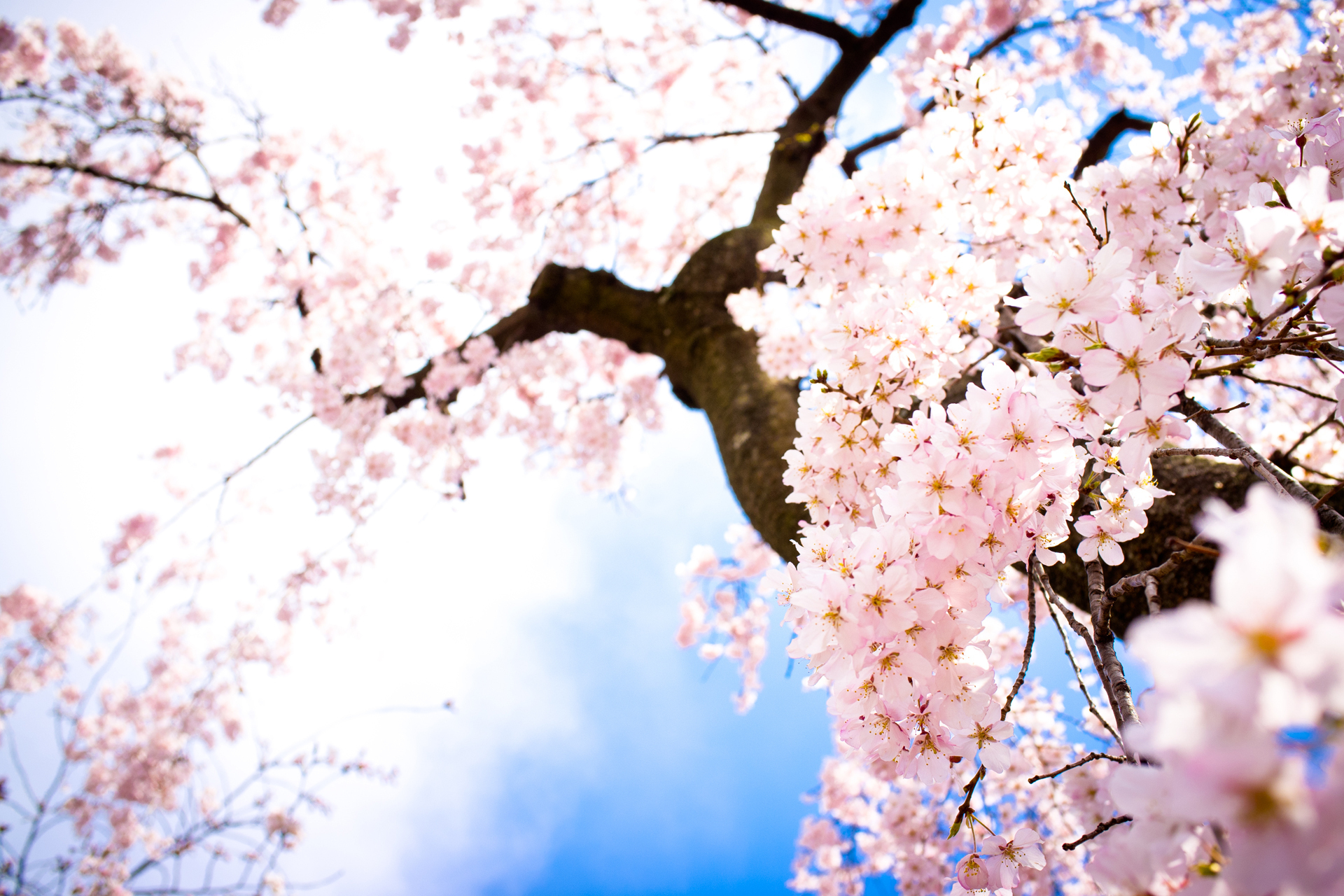 Cherry Blossom images Beautiful Cherry Blossom ♡ HD wallpaper and