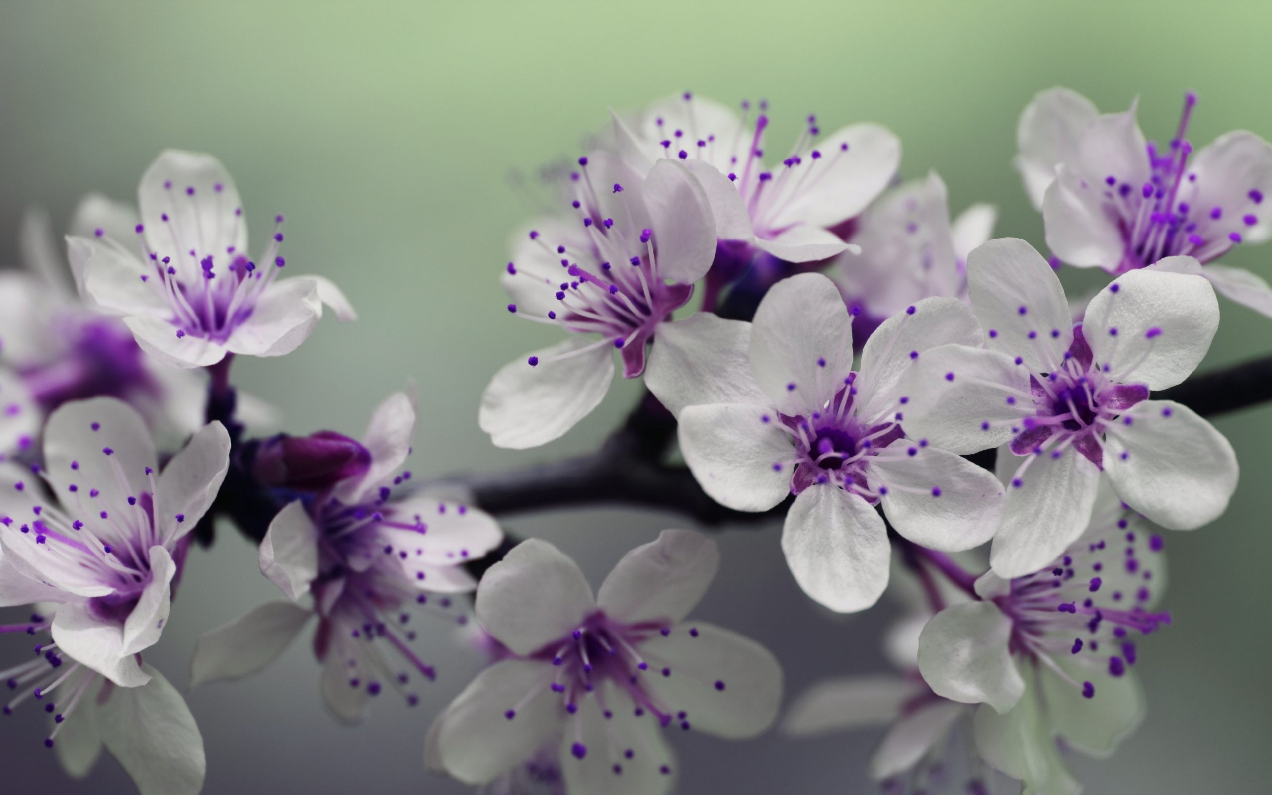 Cherry Blossom Wallpaper Wallpapers