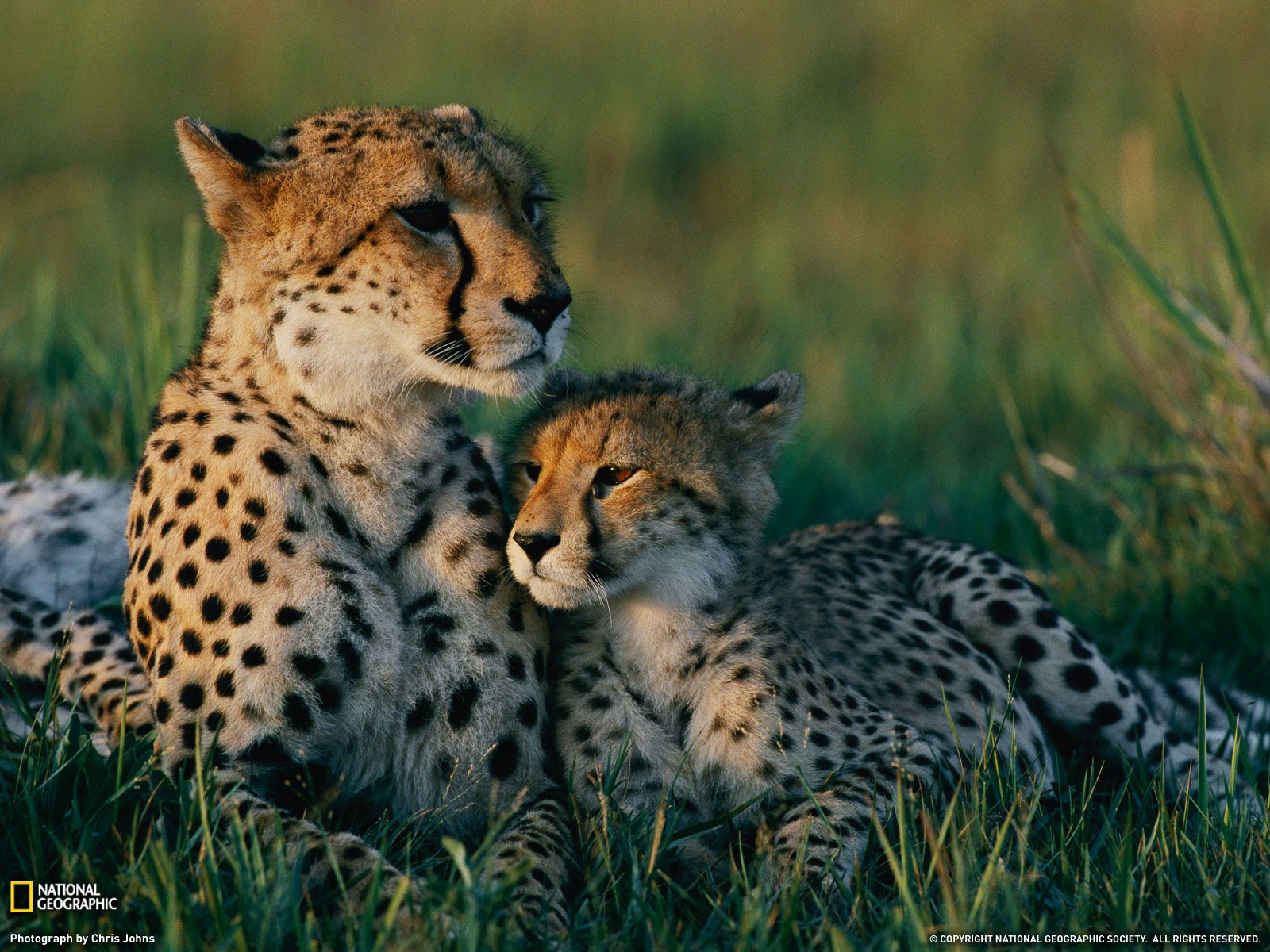 ideas about Cheetah Background on Pinterest  Cheetahs 1600x1200