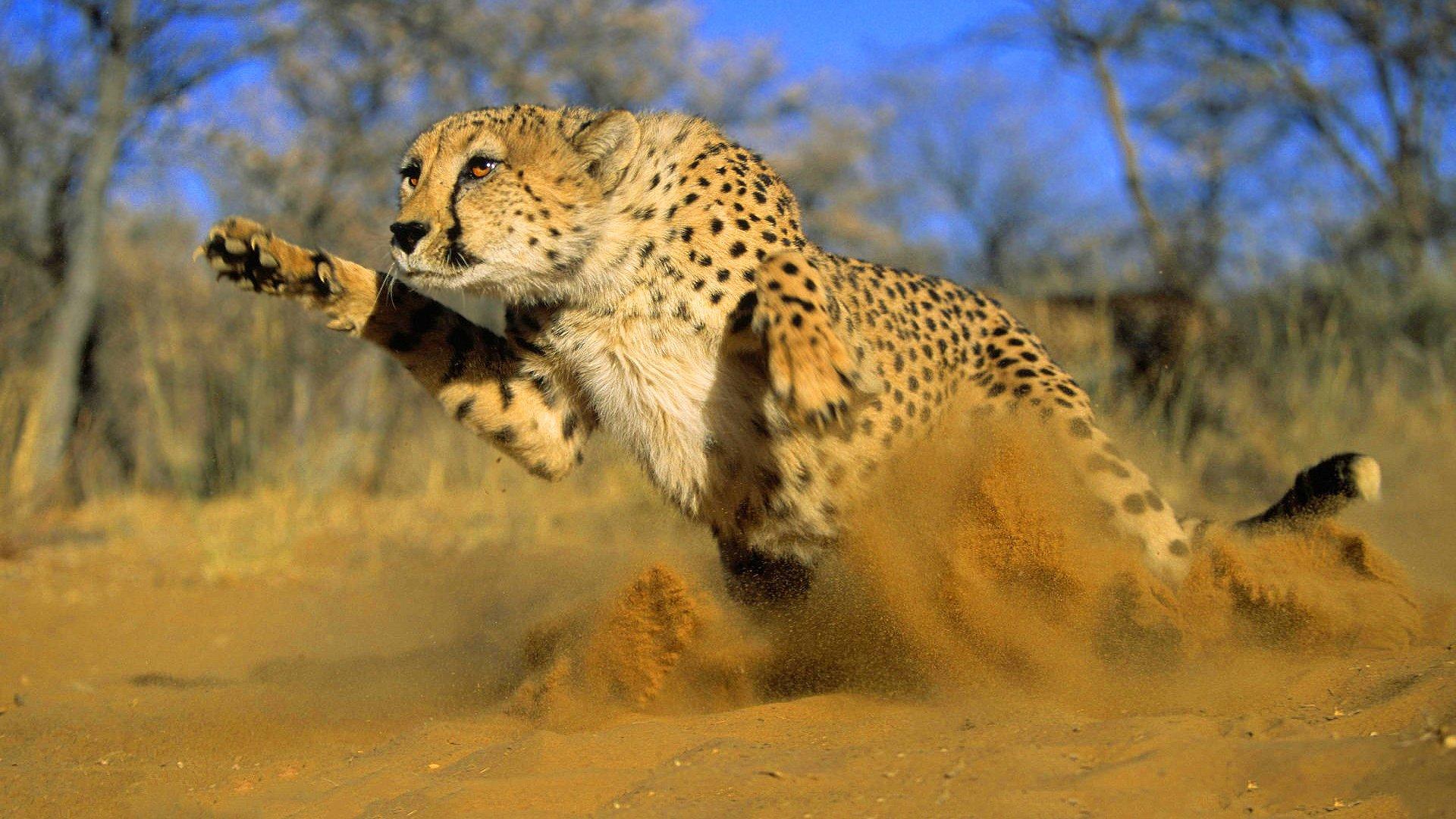 Animated Cheetah Wallpaper baby cheetah wallpapers background mytwiink baby cheetah