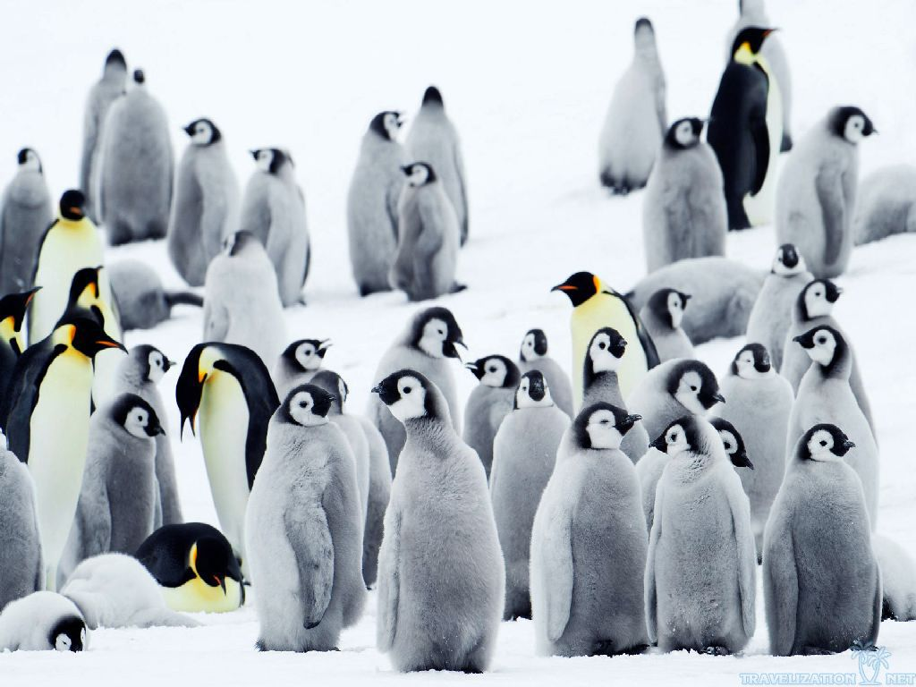 Emperor Penguin in Antarctica HD Photos Pictures